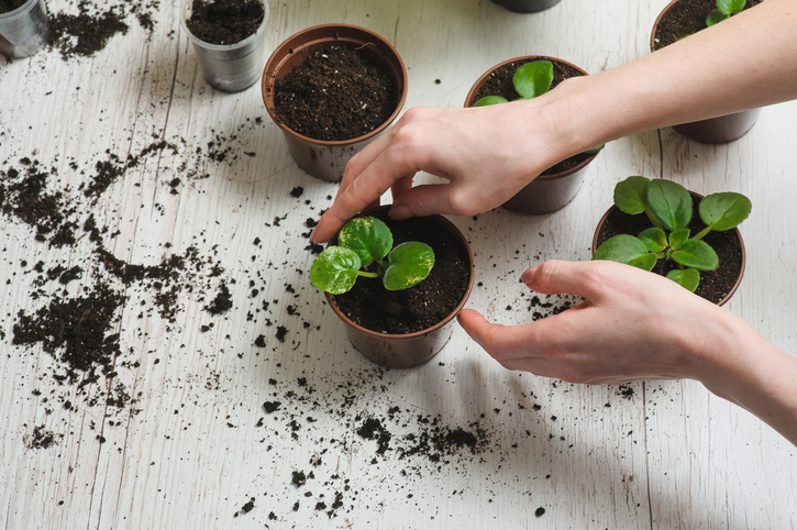 Hands of a young woman planting sprout in the flower pot. transplant plants. Several brown flower pot, heap of soil on a light wooden background. Earth Day.